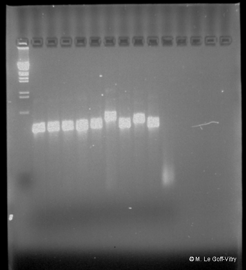 Cold-water coral genetics pcr lg